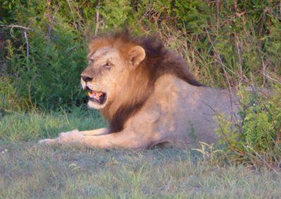 Løven vår